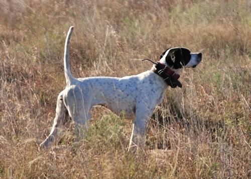 Gun Dog Training on Wild Texas Quail