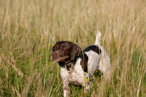 German Shorthair Pointer Breed Photo