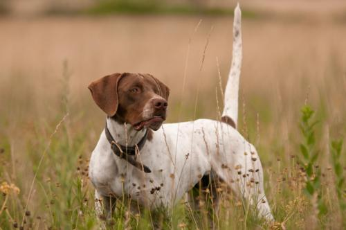 English Pointer Breed Photo