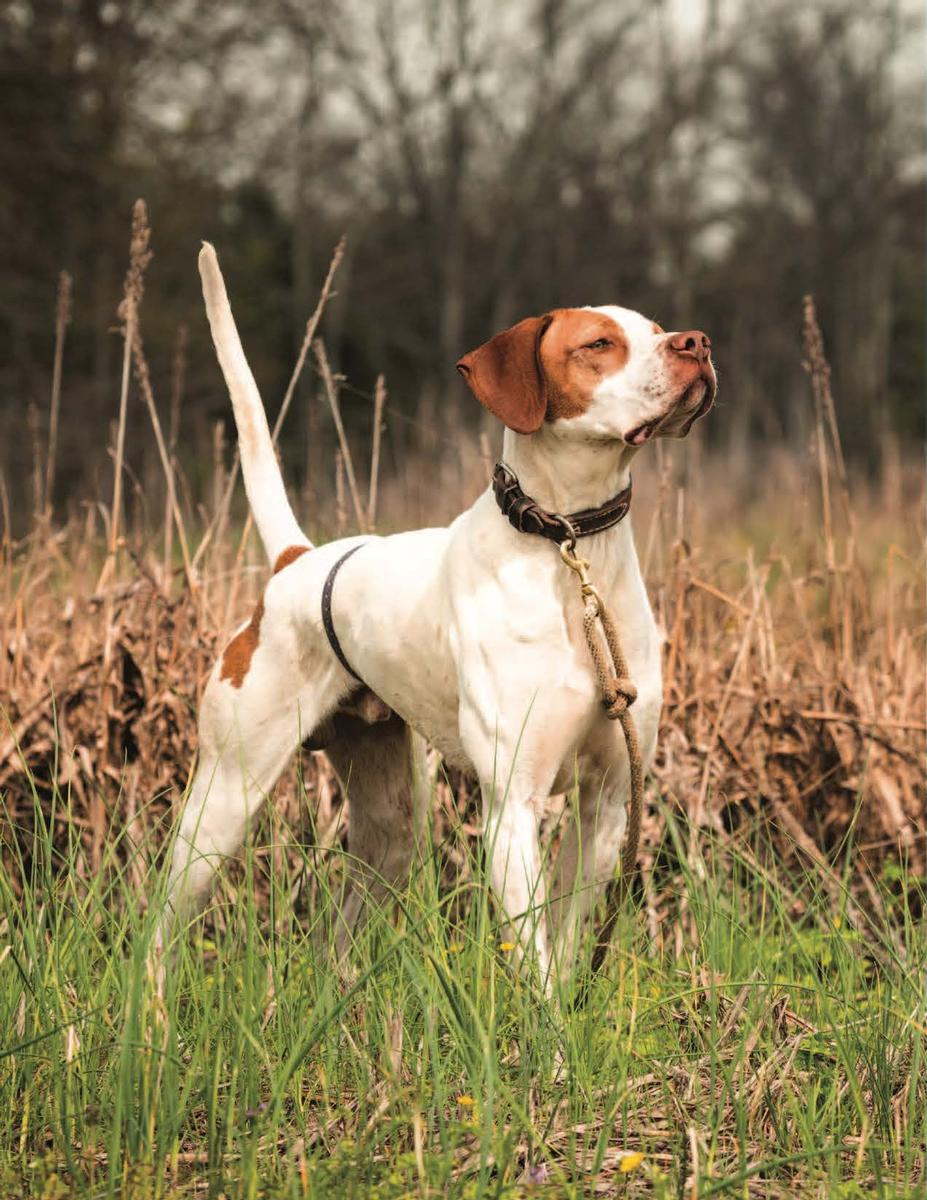 Training Bird Dogs with Ronnie Smith Kennels 5